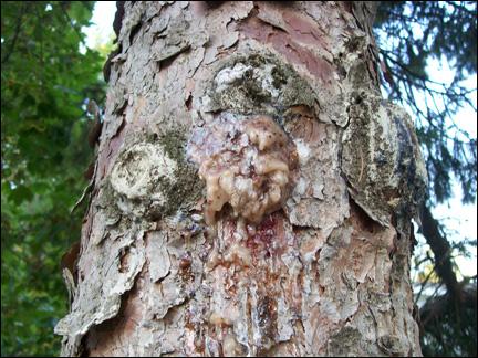 [Tuto] fabriquer de la poix Pine_pitch1