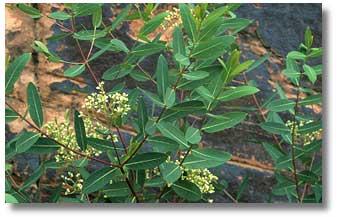 Dogbane - Apocynum cannabinum L.