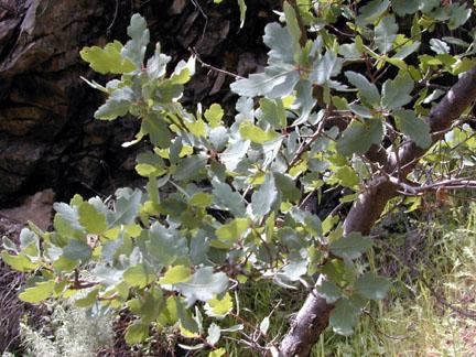Blue oakBlue Oak Acorn